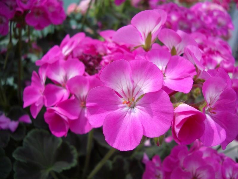 Geranie likør (Geranium)